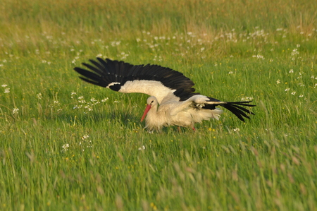 beak: The white stork looking for food in the meadow. Long red legs and beak. Mowing the meadows.