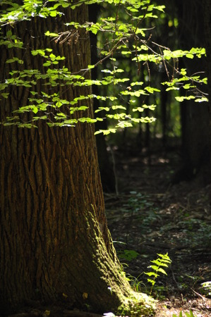 penetration: Young leaves, highlighted the sun, in the woods. Lush green. Stock Photo