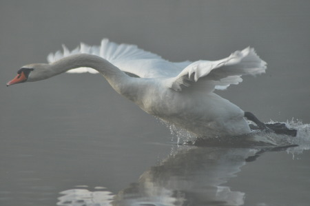 swagger: Mute Swan. Large white water bird. Taking off, flying bird