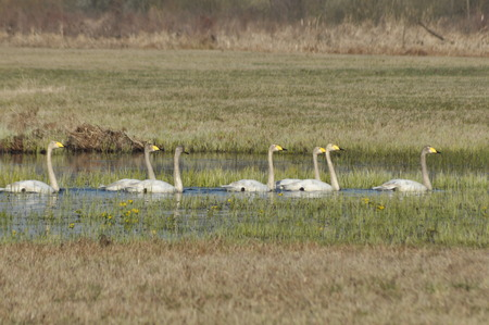 swagger: Whooper Swan. Large white water bird. Floating on the lake