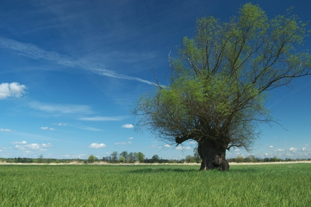headed: Headed willow tree on a boggy meadow. Spring in the river valleys Stock Photo