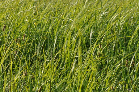 swaying: Sedges swaying in the wind. Wet meadow during haymaking. Lush green grass.
