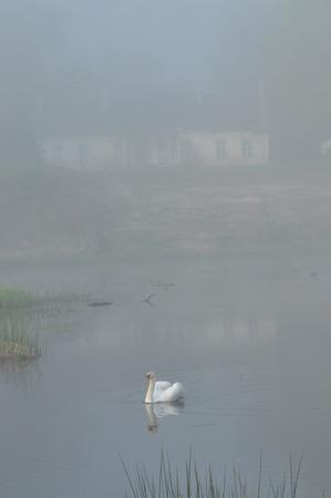 mute swan: Mute Swan. Large white water bird. Floating on the lake Stock Photo