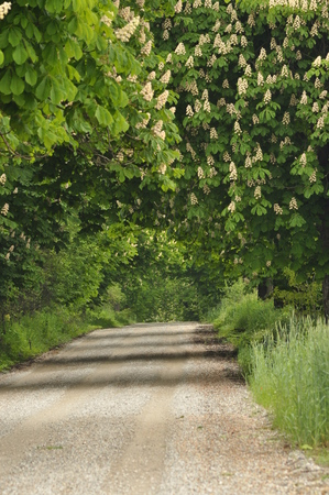 baccalaureate: Blooming chestnut trees along the gravel road. Early spring, white flowers Stock Photo