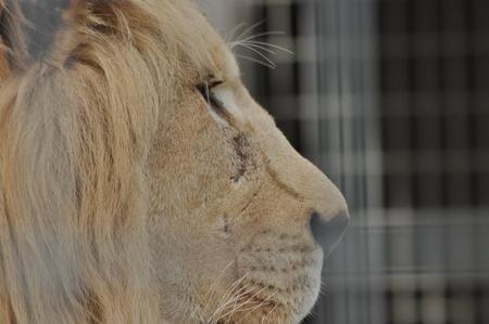 Wild lion. Predatory cat in a cage.