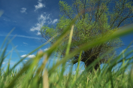 Headed willow tree on a boggy meadow. Spring in the river valleys Stock Photo