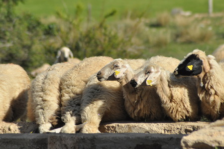 Spent with his flock of sheep grazing. Quenching thirst at the watering hole. Stock Photo
