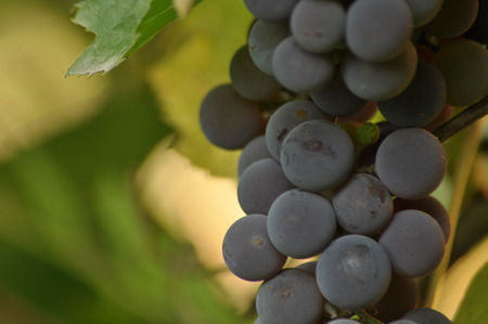 wine stocks: Bunch of purple grapes hanging on the vine on a background of green leaves.
