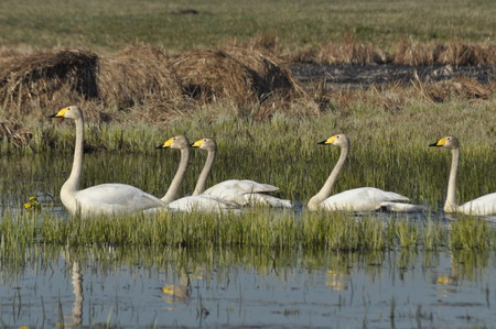 Whooper Swan. Large white water bird. Floating on the lake