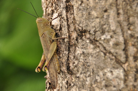 Locusts, insect sitting on a tree in the jungle. Indonesia, Java. Stock Photo