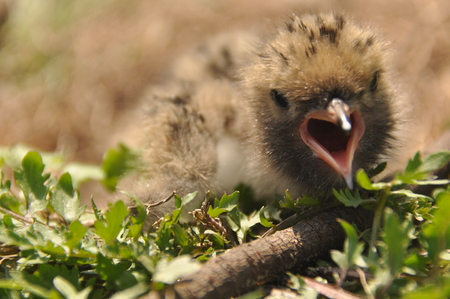 Tern chick waiting for food from their parents in a nest on the ground. Stock Photo