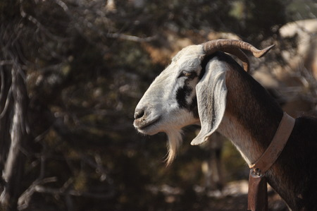 ringtones: Goats grazing on the hills in the national park Akamas in Cyprus.
