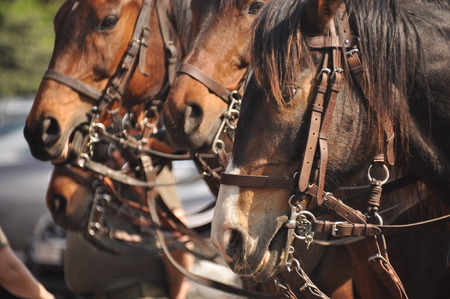 readiness: Horses in harness on parade in full dress. Polish cavalry.
