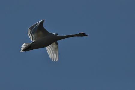 Mute Swan. Large white water bird. Taking off, flying bird
