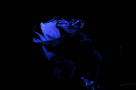 Dried rose flower. Valentines Day. Love and trust. Stock Photo