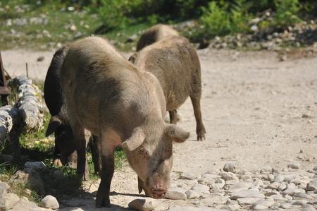 Cerdo. Lentamente corriendo cerdos, animales de granja en un camino de grava en Georgia. Foto de archivo