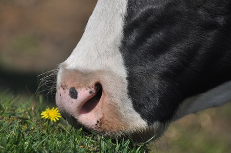 The cows mouth. Moist nostrils domestic cattle. Organ of smell.
