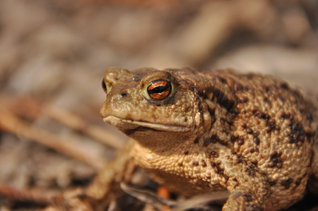 Toad. Amphibian during the spring awakening and mating Stock Photo