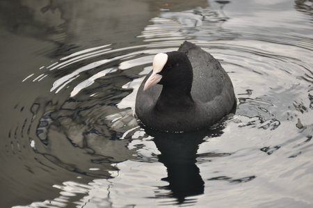 membranes: Coot, a bird floating on Lake Garda in Italy