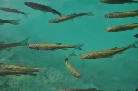 Fish floating near the surface of the water in the overgrown lake. Plitvice Lakes National Park. Stock Photo