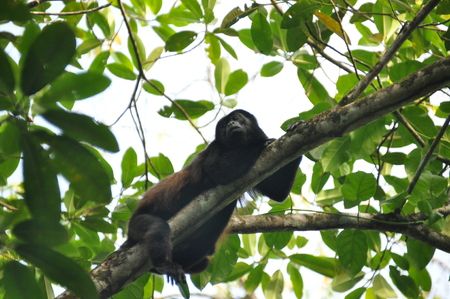 Black howler, a mammal on a tree in the jungle. Panama. Central America.