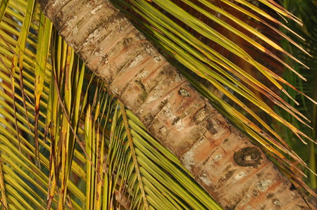 CoCoconut palm trees growing on the coast of Central America, Panama.