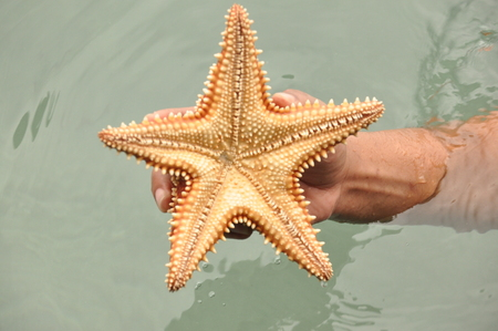 Starfish Oreaster reticulatus held in hand, caught in the Bocas del Toro in the Caribbean in Panama