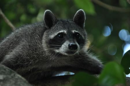 romp: Raccoon, the bouncing pet in the Manuel Antonio National Park in Costa Rica.