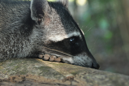 intruder: Raccoon, the bouncing pet in the Manuel Antonio National Park in Costa Rica.