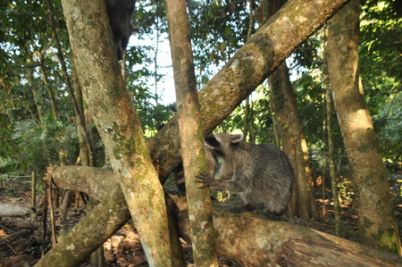Raccoon, the bouncing pet in the Manuel Antonio National Park in Costa Rica.