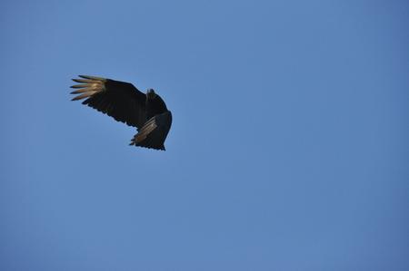 검은 독수리. 깃털이없는 머리와 냄새가 나는 검은 썩은 고기를 먹는다.