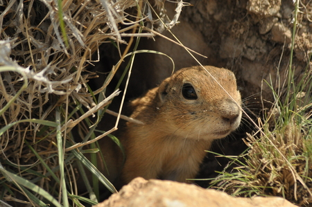 Gopher looking out of the burrow. Danger to life. Central Turkey Foto de archivo