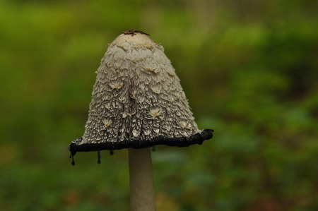 Fruiting bodies of the fungus, aspergillus. Bialowieza Forest, primary forest.