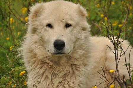 Shepherd dog lying on the meadow and guarding the herd. Dangerous race. 스톡 콘텐츠
