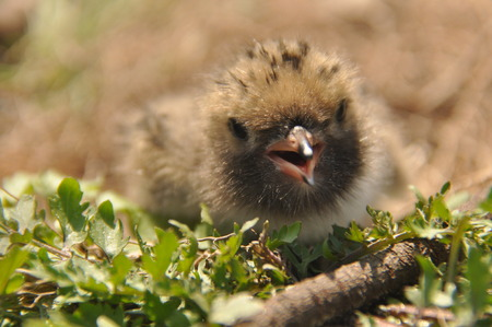 Tern chick waiting for food from their parents in a nest on the ground. Imagens