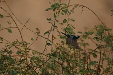 Palestine sunbird preying on flowers in the desert in Jordan.