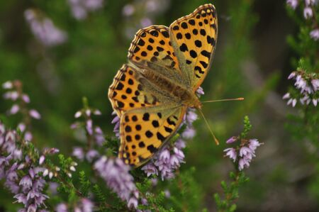 Dark green fritillary butterfly sitting on the heather in the forest. Insect with orange wings with black spots
