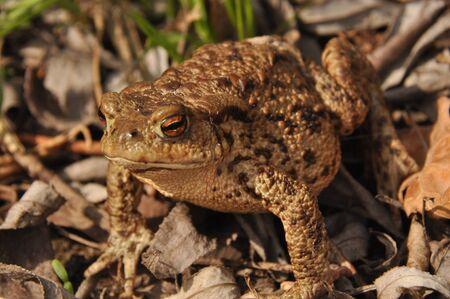 Toad. Amphibian during the spring awakening and mating Stockfoto