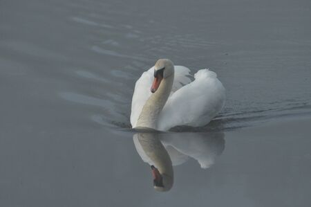 Mute Swan. Large white water bird. Floating on the lake Banque d'images