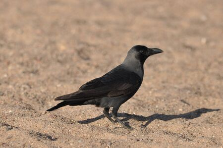 House crow on the beach of the Red Sea in Eilat. Birds looking for food. Israel.