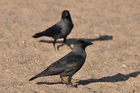 House crow on the beach of the Red Sea in Eilat. Birds looking for food. Israel. Stock Photo
