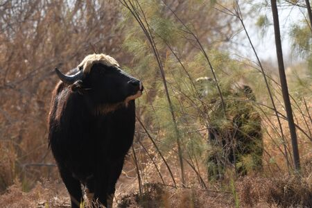 River buffalos. Species of wild ungulates reproduced in the Al Azrak reserve in Jordan. Drying marshes supplying Amman with drinking water. Banco de Imagens