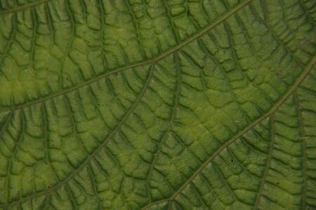 Leaves of tropical plants growing in the jungle. Details of the innervation of the leaf blade. Nerves and connections of green elements.