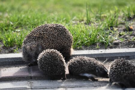 Prickly hedgehog mother with three young people looking for food on an evening walk between houses and streets of the city. Omnivore mammals active at night. Stock Photo