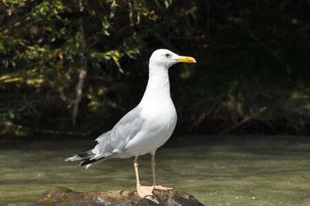 Caspian gull with white plumage standing and resting on a stone on the river 写真素材 - 143753574