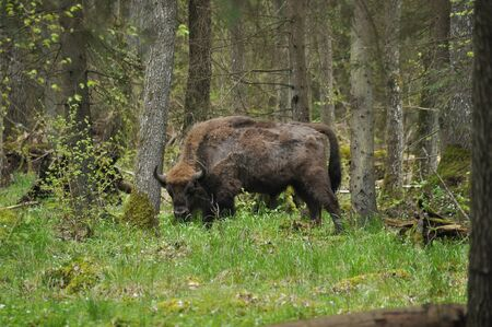European bison grazing in a forest clearing in the Bialowieza Forest National Park in Poland