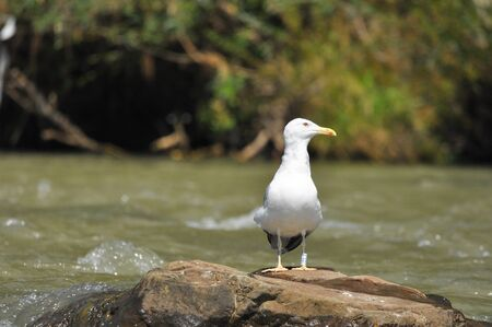 Caspian gull with white plumage standing and resting on a stone on the river 写真素材
