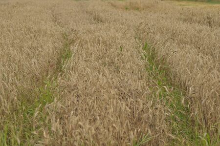 Grain in the fields. Ripening ears. Harvest and grain into flour. Farms and agriculture.