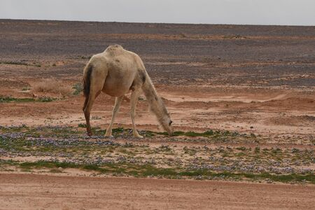 A herd of camels wandering through the deserts of eastern Jordan during the desert flowering. Camels looking for food on dry hard ground.