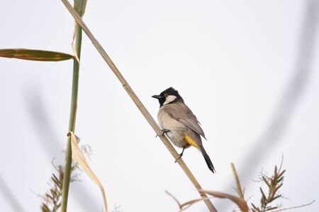 White eared bulbul Pycnonotus leucotis, a bird perched on a cane in the Al Azrak reserve in Jordan and singing a mating song to lure a partner and build a nest. settled species and tourist attraction.